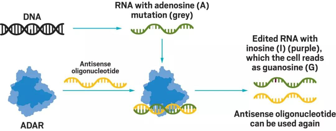 Using antisense oligonucleotides to guide ADAR for RNA editing